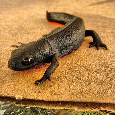 Salamandra cu burta de foc