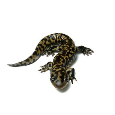 Salamandra Tigru