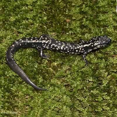 Salamandra Vascoasa