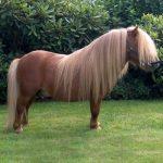 Ponei Shetland