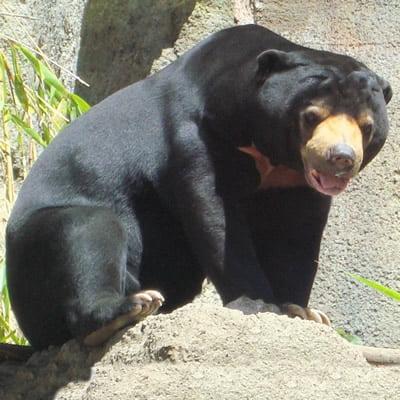 Ursul Soare