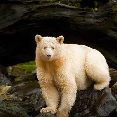 Ursul spirit