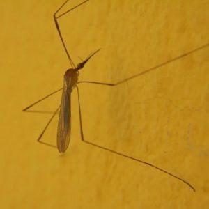 Tantarul insecta