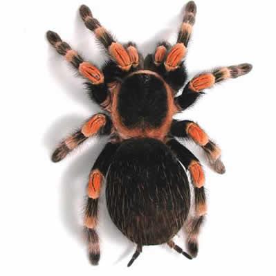 Tarantule Arahnide