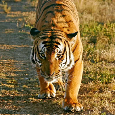 Tigrul Chinez