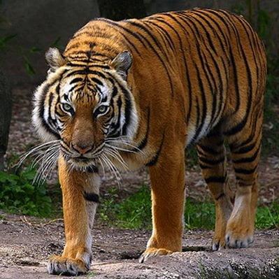 Tigrul Indochinez