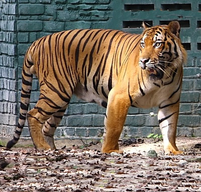 Tigrul malaesian