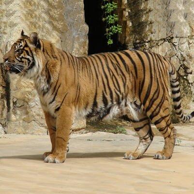 Tigrul Sumatran