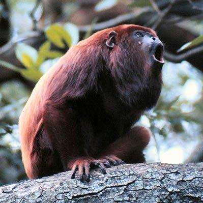 Maimuta Urlatoare