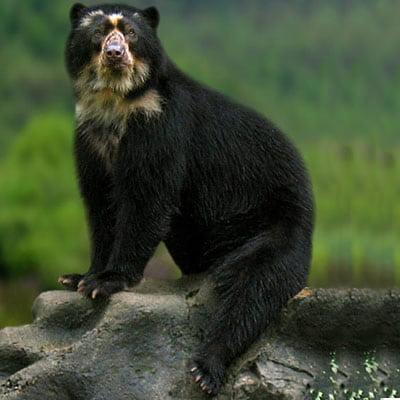Ursul cu Ochelari