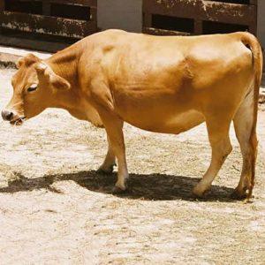 Vaca domestica