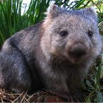 Wombat Vombatus ursinus