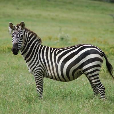 Zebra salbatica