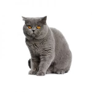 pisica british shorthair