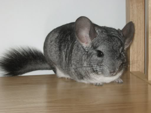 Cum ingrijim o chinchilla
