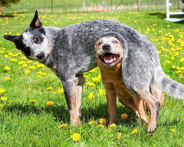 doi caini se joaca in iarba