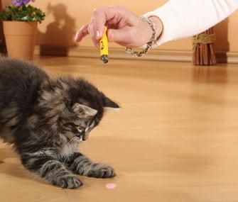 pisica se joaca cu laserul