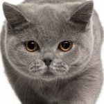 pisica British Shorthair atenta