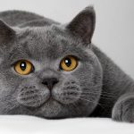 pisica British Shorthair cu botu pe labe