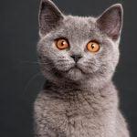 pisica British Shorthair pui