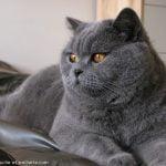 pisica British Shorthair se uita pe geam