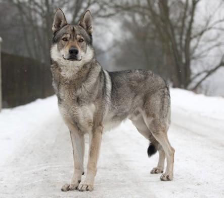 Atat Dog Breed