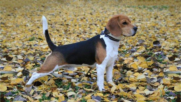 beagle la vanatoare