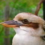 Kookaburra cap cu cioc portocaliu