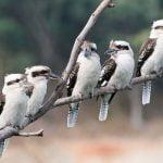 Kookaburra care rade cu burta alba