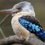 Kookaburra-cu-aripi-albastre-poza