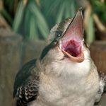 Kookaburra cu gura deschisa scoate sunete