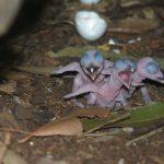 Kookaburra cuib cu pui mici