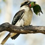 Kookaburra prinde pasari