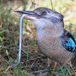 Kookaburra se hraneste cu serpi