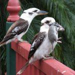 Kookaburra se hraneste cu soareci