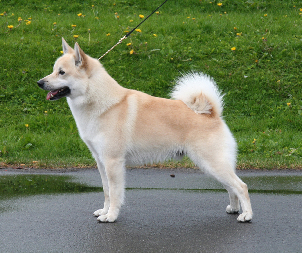 Buhund Norvegian