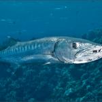 peste-barracuda-albastru