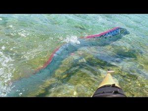 peste-panglica-in-mari-si-oceane