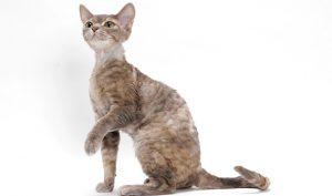 pisica-devon-rex-cu-blana-ondulata