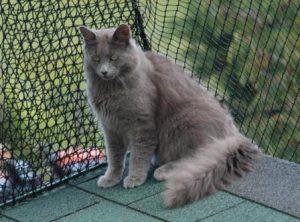 pisica-nebelung-cu-par-lung