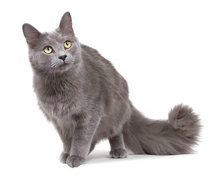 pisica albastru de rusia pret
