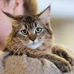 pisica-pixie-bob-cu-mustati-lungi-si-ochi-verzi