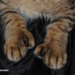 pisica-pixie-bob-polidactil