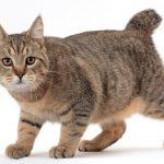 pisica-pixie-bob-tigrata