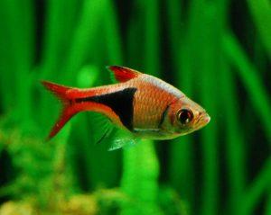 peste-arlechin-negru-portocaliu-acvariu