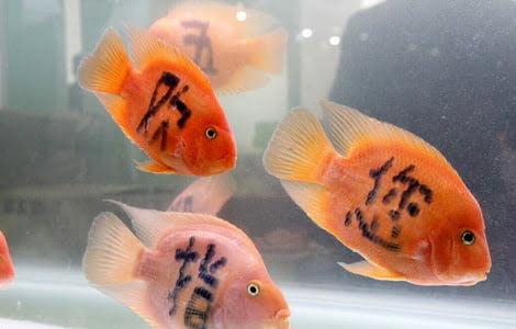 Chinezii isi tatueaza pestii cu laser