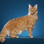 pisica-laperm-aurie-cu-blana-carliontata