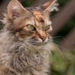 pisica-laperm-ciufulita-cu-blana-lunga