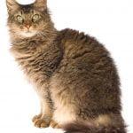 pisica-laperm-hipoalergenica-maro