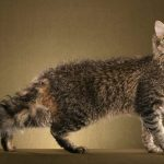 pisica-laperm-maro-poze